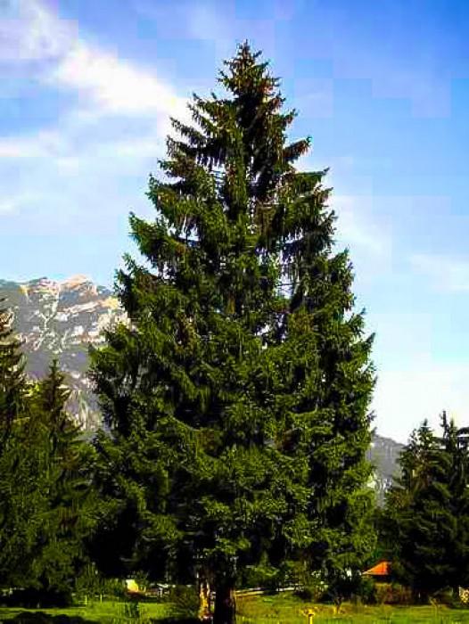 Live Christmas Trees For Sale