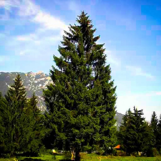 Norway Spruce The Tree Center