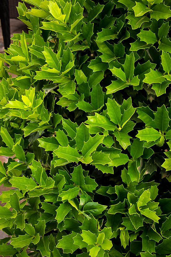 Oak Leaf Holly Trees For Sale Online The Tree Center