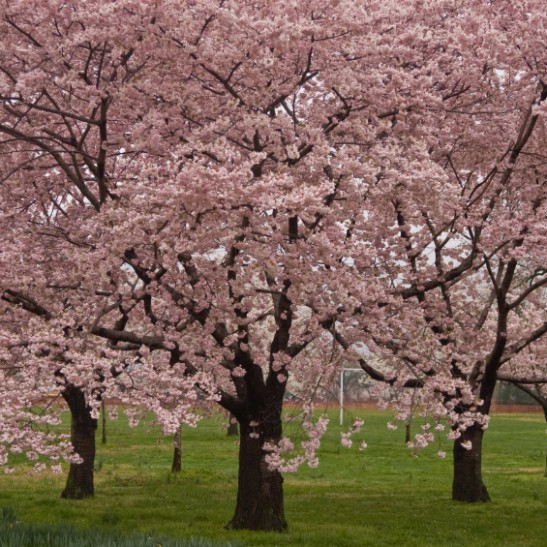 Okame cherry blossom tree for sale online the tree center for Cherry trees for sale