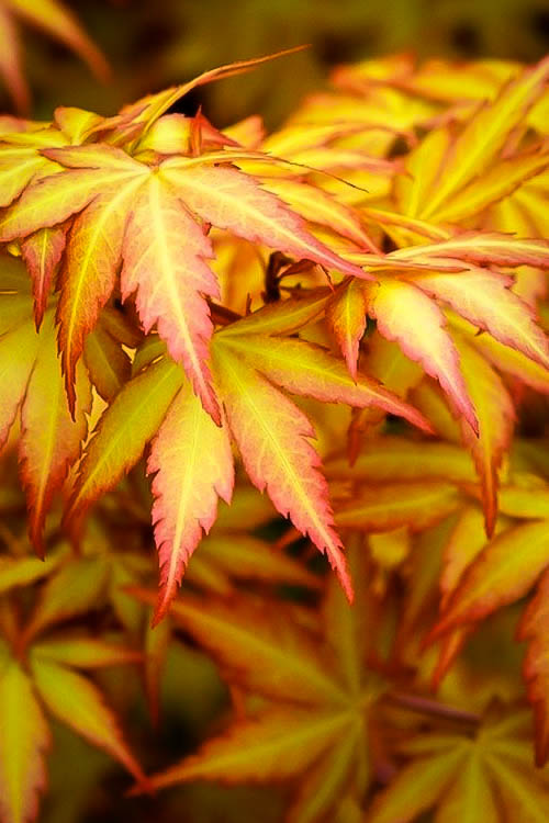 Orange Dream Japanese Maple Trees For Sale The Tree Center