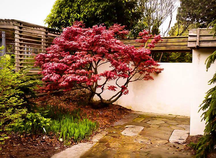 Oregon Sunset Japanese Maple The Tree Center