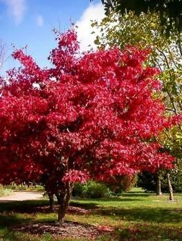 Sherwood Flame Japanese Maple The Tree Center