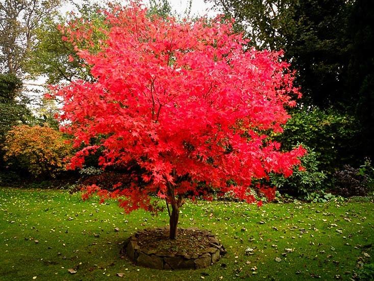 Osakazuki Japanese Maple The Tree Center