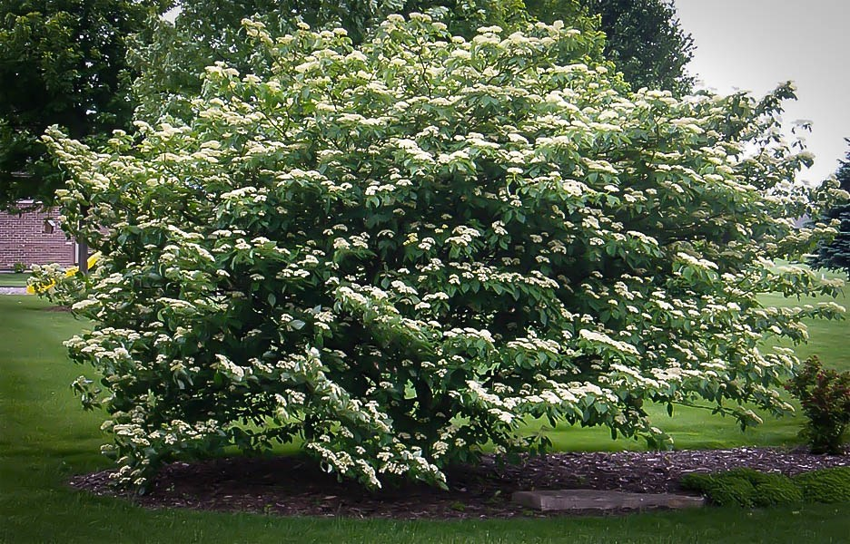 Pagoda Dogwood For Sale Online The Tree Center
