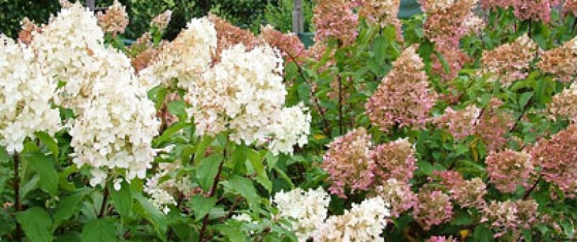 New & Exciting Panicle Hydrangeas