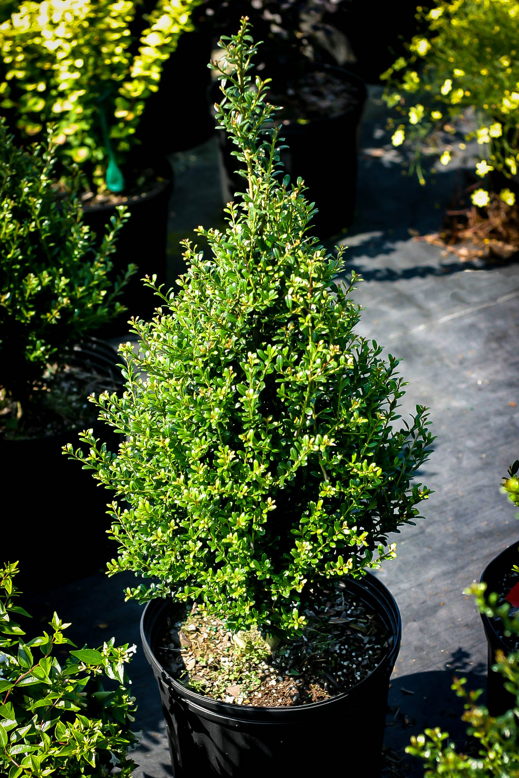 Patti O Box Japanese Holly Bushes For Sale The Tree Center