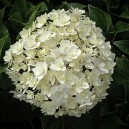 A round ball of Peace Hydrangea flowers.