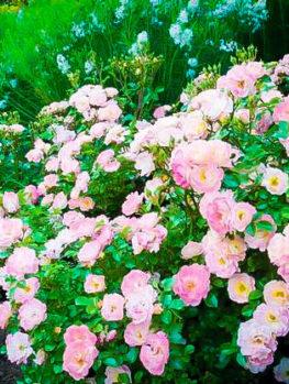 Peach Drift¨ Rose