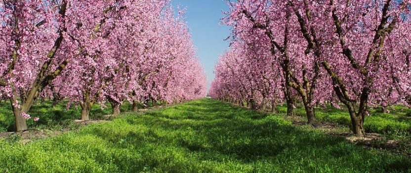 Growing Peach Trees
