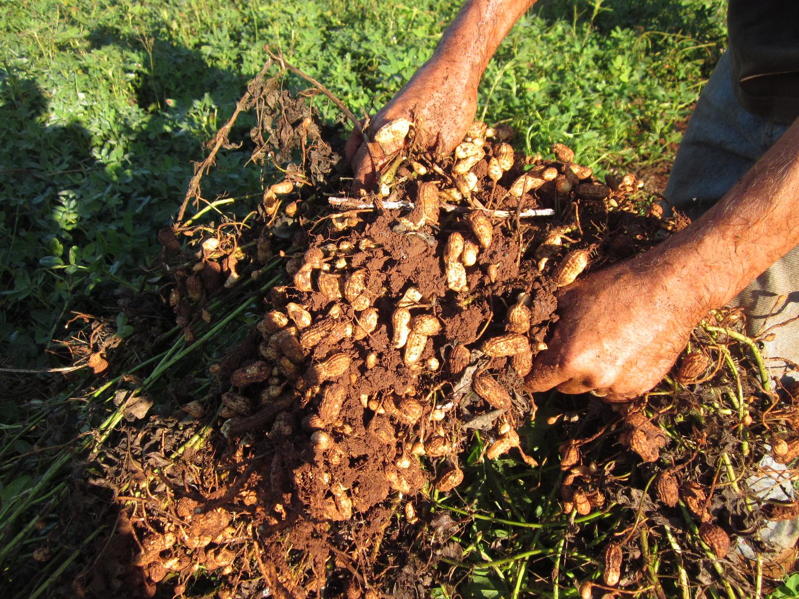 Выращивание арахиса как бизнес 67