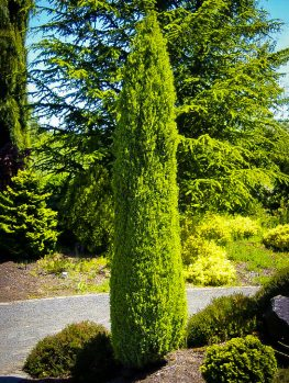 Buy Juniper Trees Juniper Trees For Sale The Tree Center