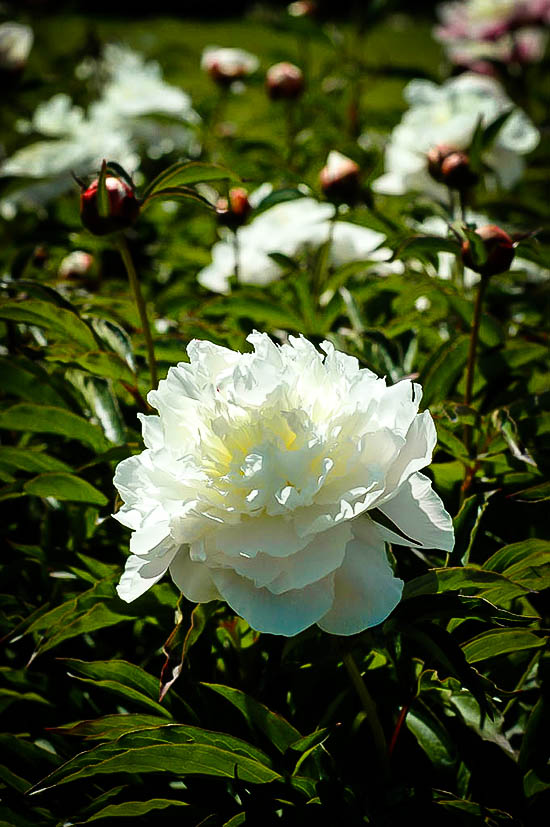 Peony Shirley Temple For Sale Online The Tree Center