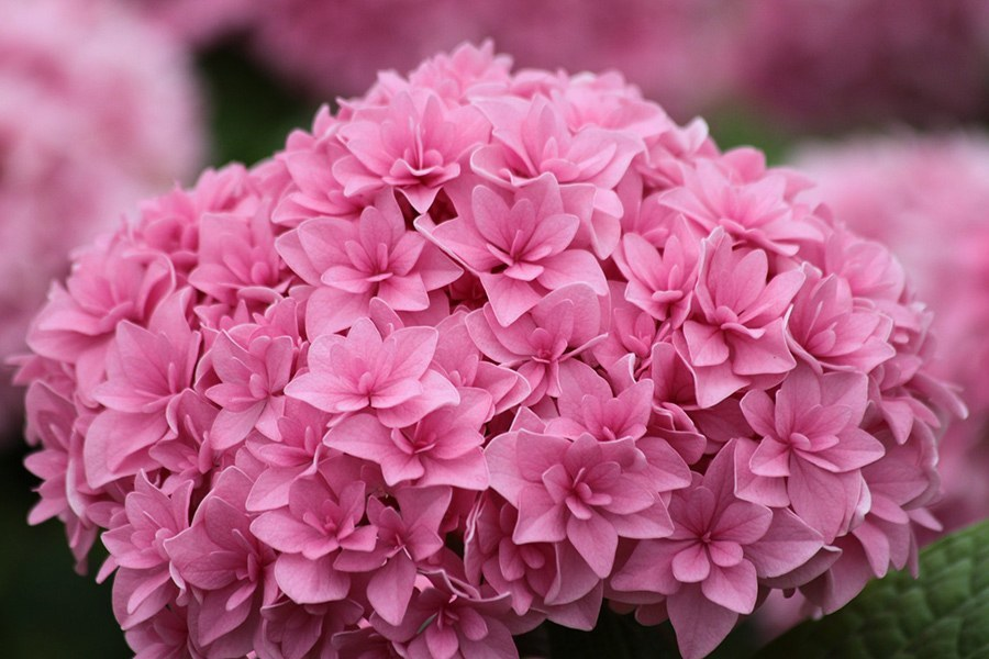 Perfection Double Delights Hydrangea For Sale Online The