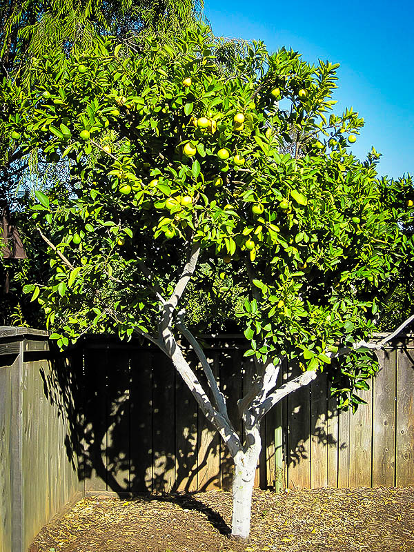 persian lime trees for sale online the tree center�