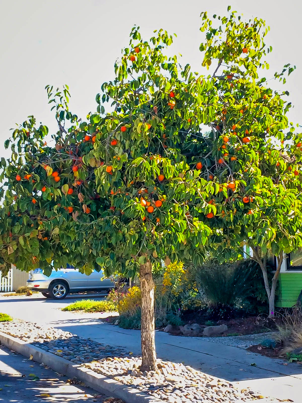 hachiya japanese persimmon trees for sale the tree center�
