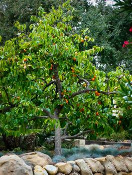 Hachiya Japanese Persimmon Tree
