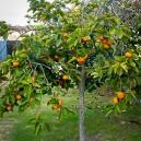persimmon-tree-3
