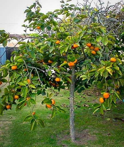 Persimmon Tree For Sal... Fuyu Persimmons