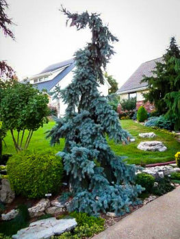 Weeping Blue Spruce