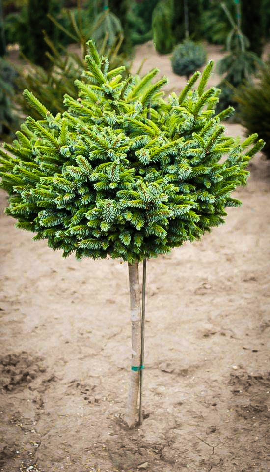 Pimoko Spruce Tree Form For Sale Online The Tree Center