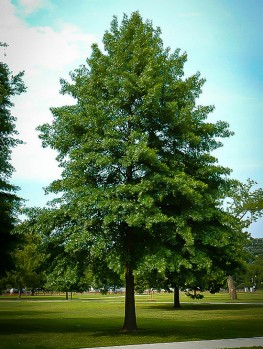 Buy Oak Trees Online The Tree Center