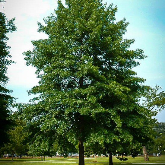 pin oak for sale online the tree center