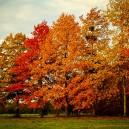 Group of Pin Oak Trees