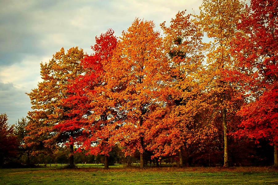 Pin Oak Tree Group Of Trees
