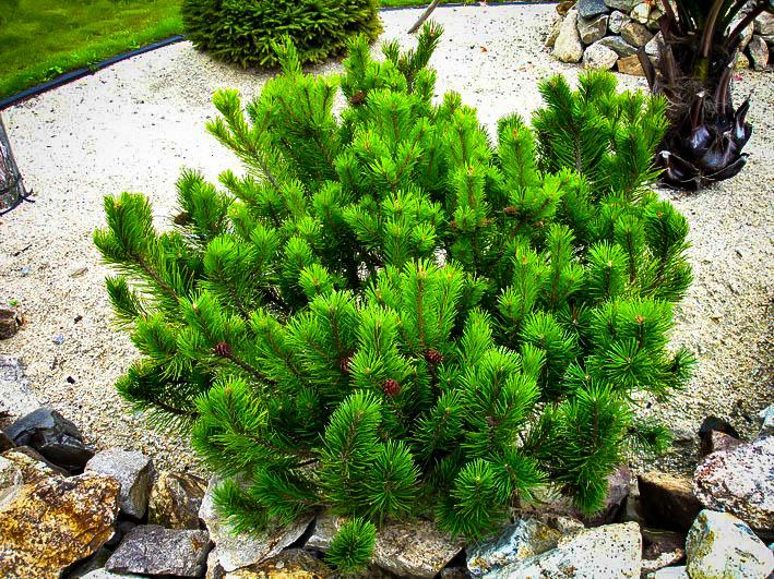 Dwarf Mugo Pine Trees For Sale The Tree Center