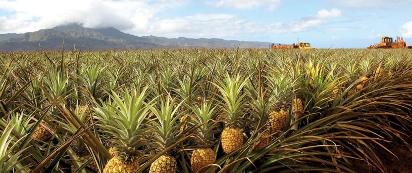 how to grow a pineapple tree