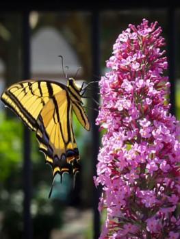 Asian Moon Butterfly Bush The Tree Center