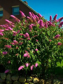 Buddleia Pink Delight Butterfly Bush