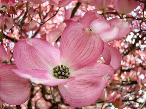 Pink Dogwood For Sale Online The Tree Center