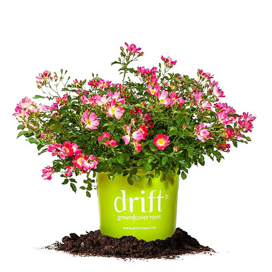 Pink Drift 174 Rose Bushes For Sale Online The Tree Center