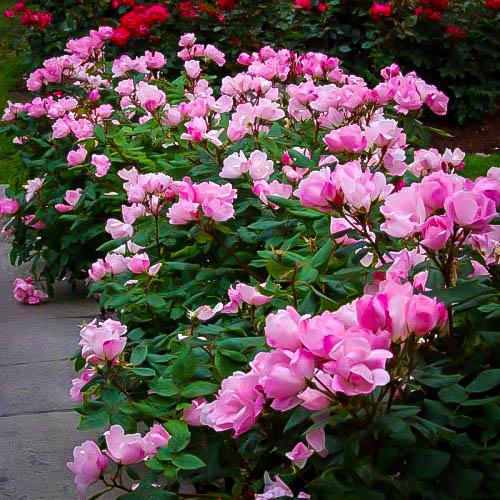 Roses In Garden: Pink Knockout Rose Bushes For Sale Online