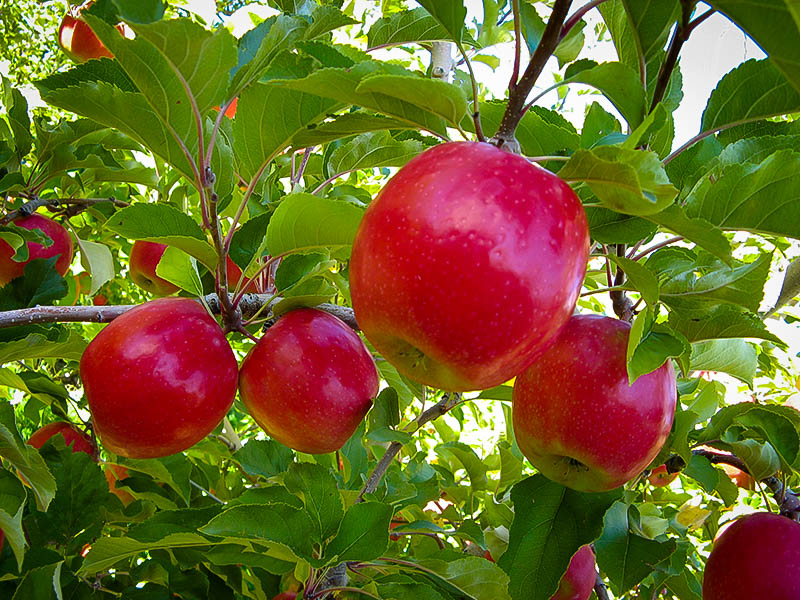 buy apple trees online  the tree center™, Beautiful flower