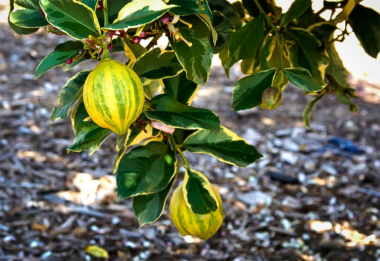 Variegated pink lemon tree for sale online the tree center plant mightylinksfo