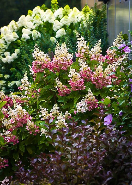 Pinky Winky Hydrangea For Sale Online The Tree Center