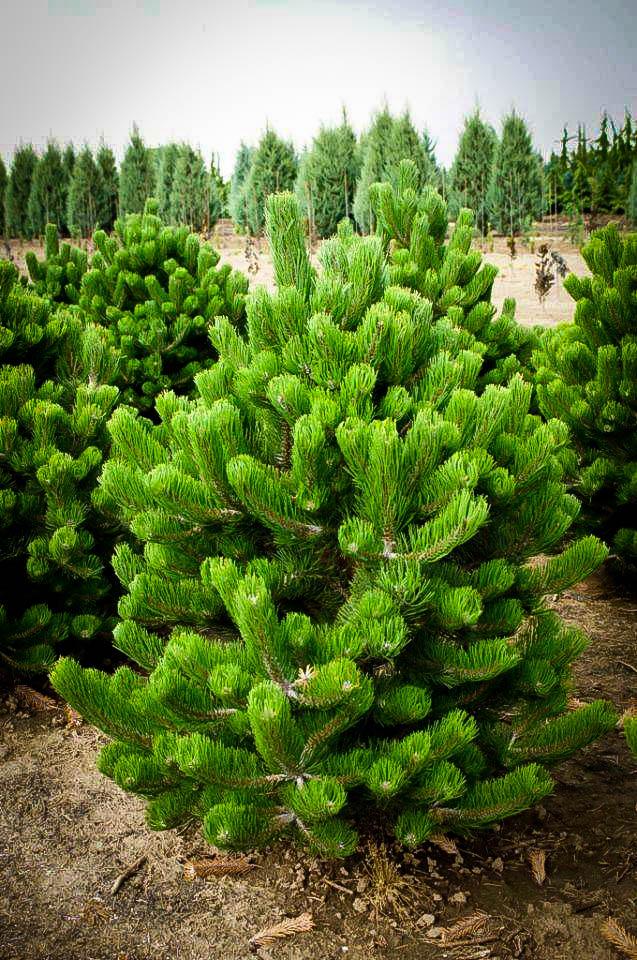 Oregon Green Austrian Pine For Sale The Tree Center