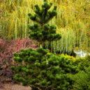 pinus-nigra-oregon-green-2