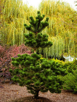 Oregon Green Austrian Pine