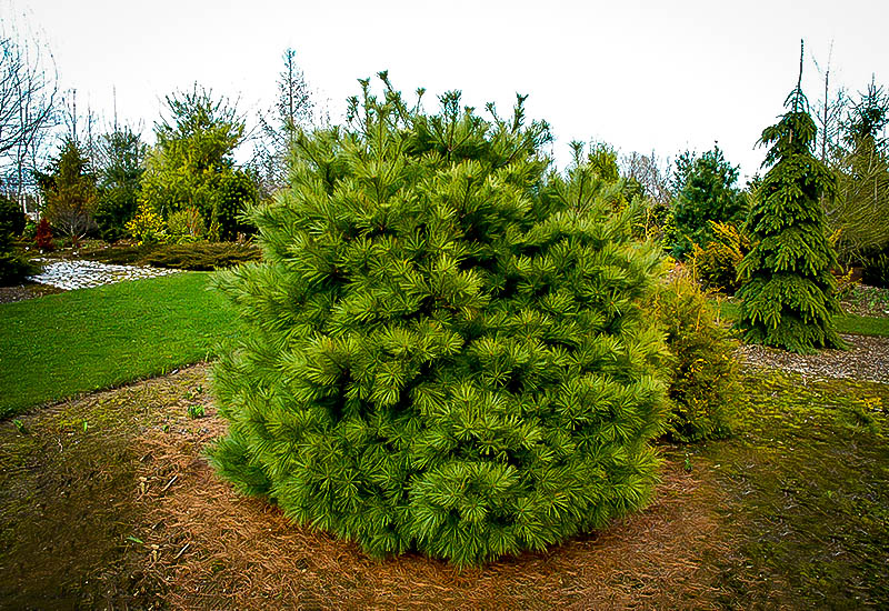 Dwarf White Pine Trees For Sale Online The Tree Center