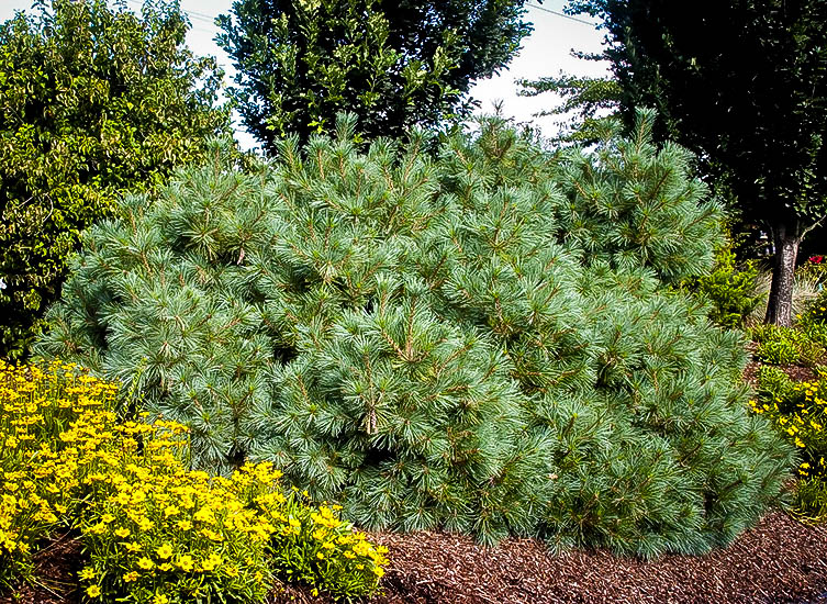 Dwarf white pine the tree center for Mature pine trees