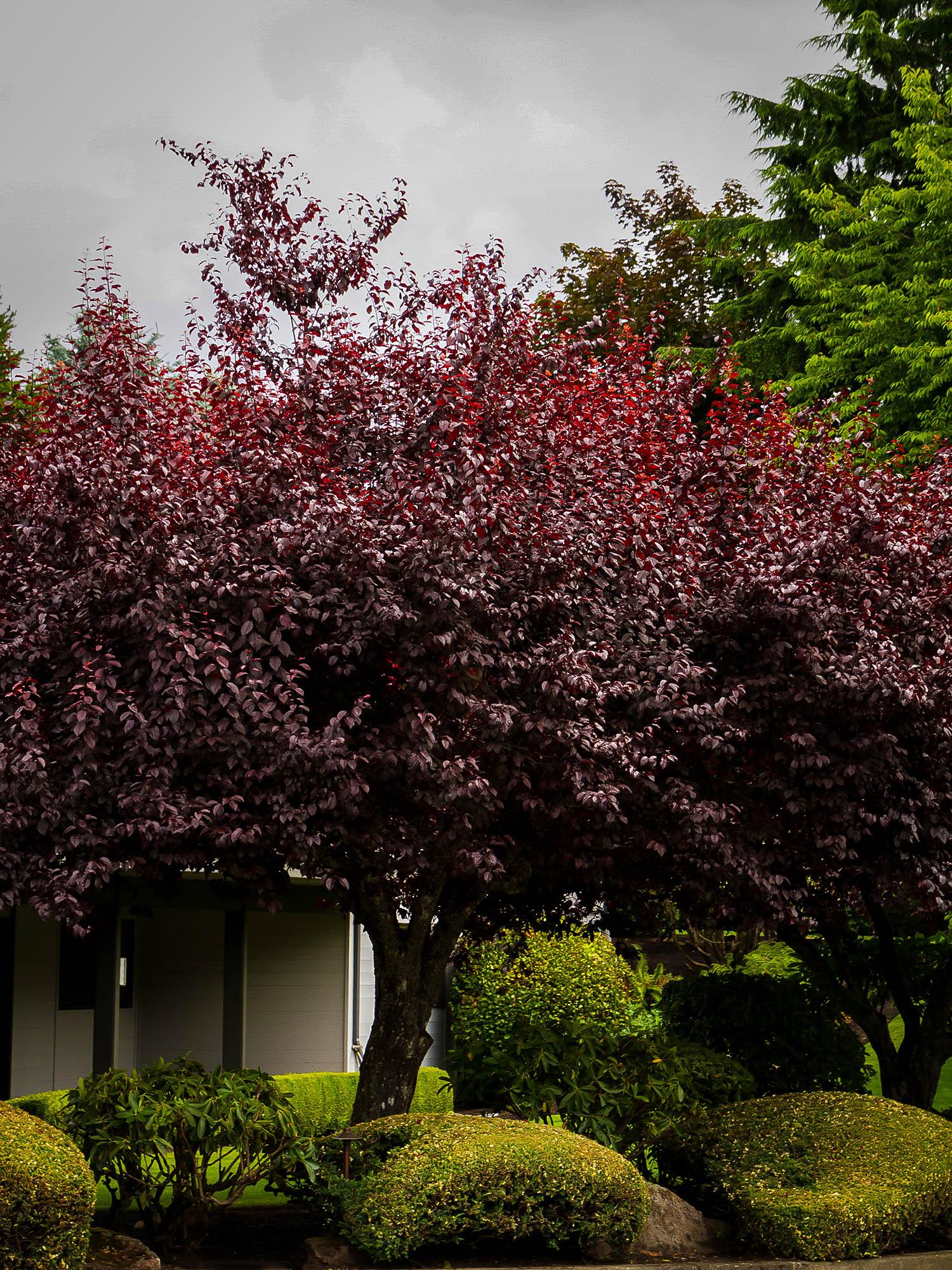 Krauter Vesuvius Purple Leaf Plum Trees For Sale The
