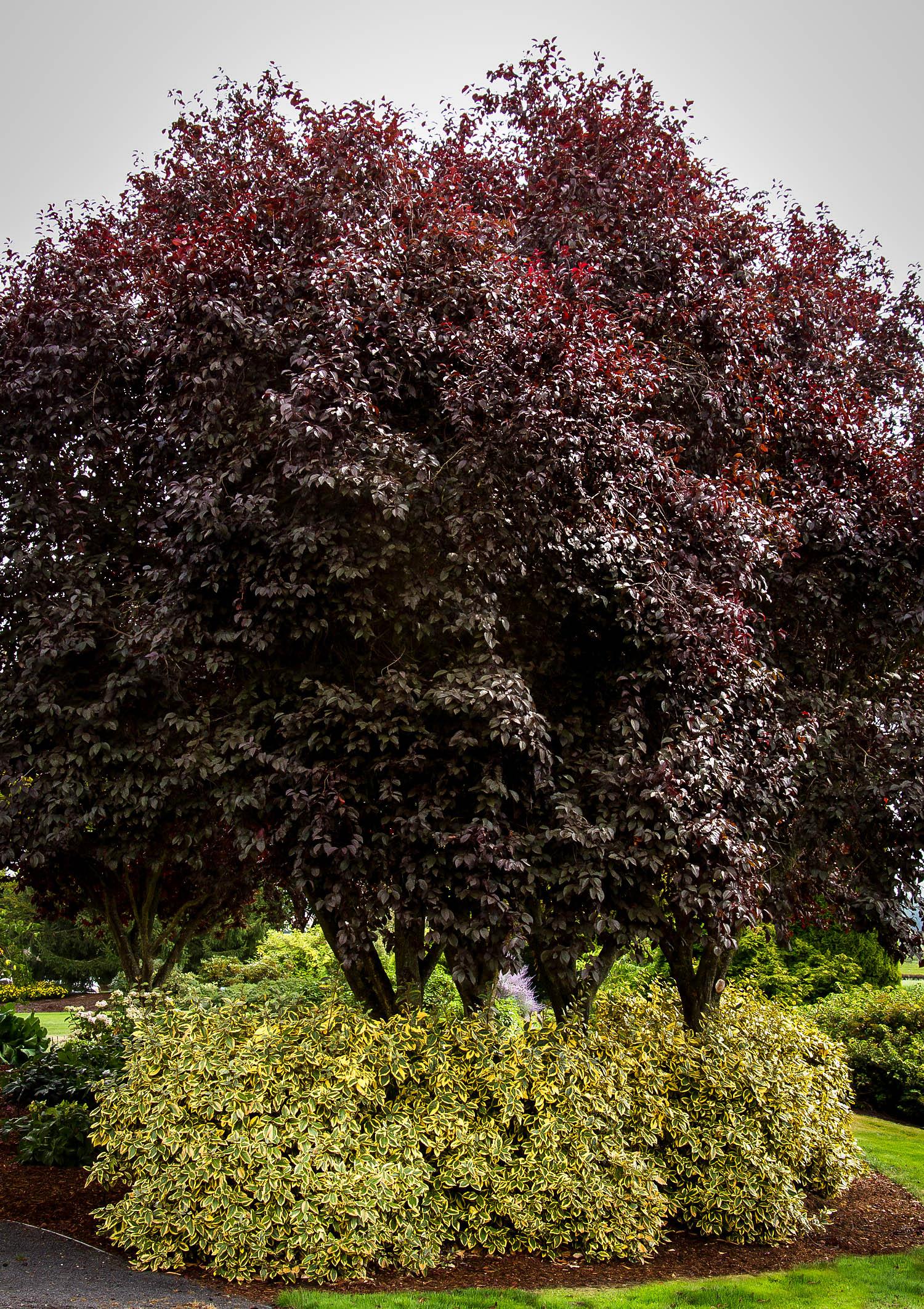 Thundercloud Purple Leaf Plum Trees For Sale The Tree