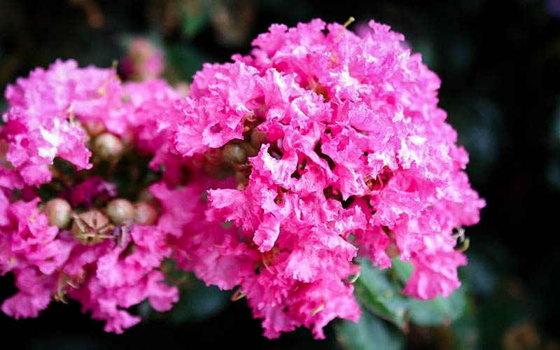 Pocomoke Crape Myrtle For Sale Online The Tree Center