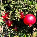 pomegranate-3