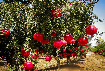 The Pomegranate Tree Can Be Gown As A Large Shrub Or Small With One Few Trunks It Reaches 15 To 25 Feet In Height Depending On Growing