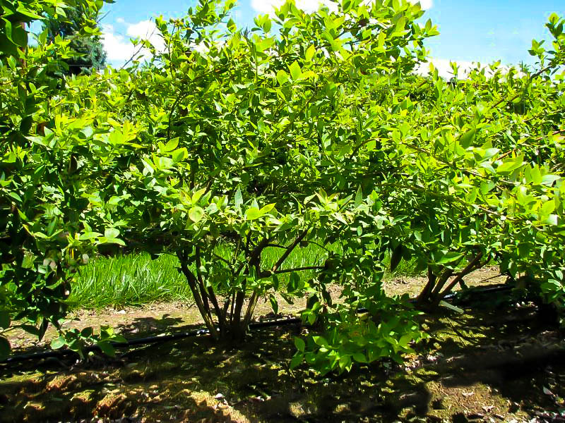 Buy Powder Blue Blueberry Bushes Online The Tree Center